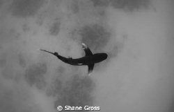 An oceanic whitetip shark over a bottom that appears to b... by Shane Gross 